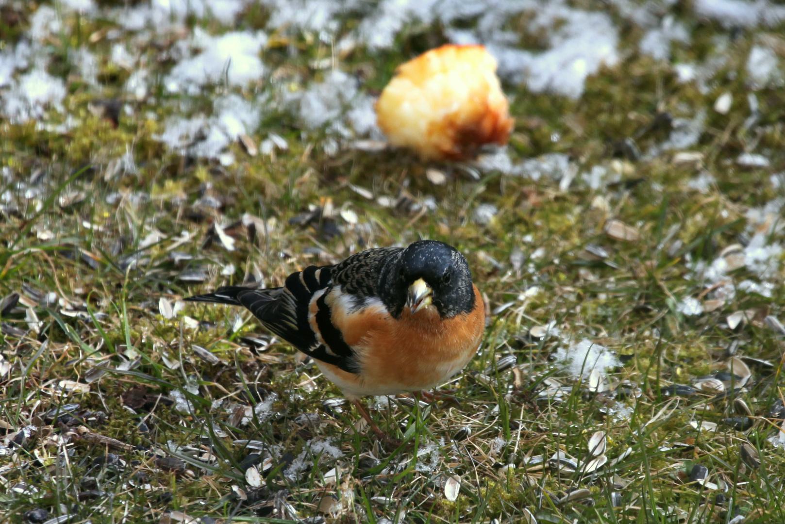 Bergfink (Fringilla montifringilla) ?