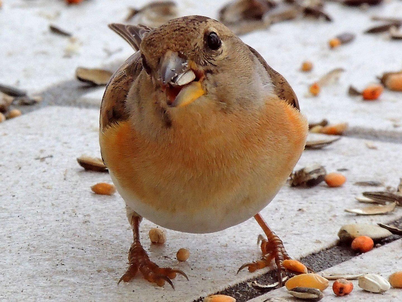 Bergfink I