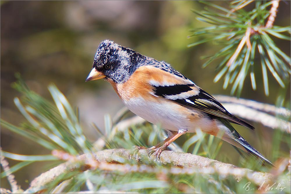 Bergfink im Prachtkleid