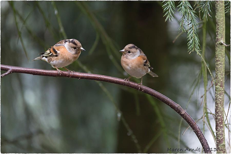 Bergfinken - Mädchen