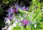 Bergflockenblume mit Besuchern