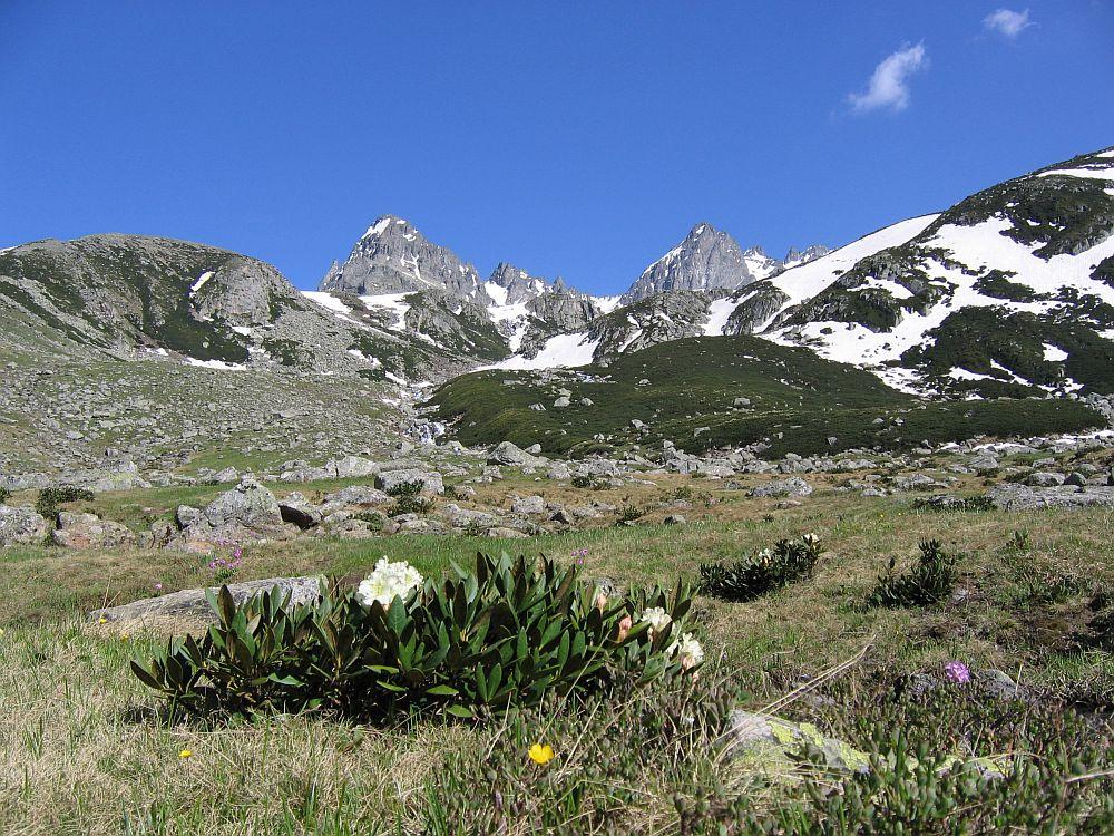 Bergfrühling im Kackar-Gebirge mit Kaukasus-Rhododendron (Rododendron caucasicum)