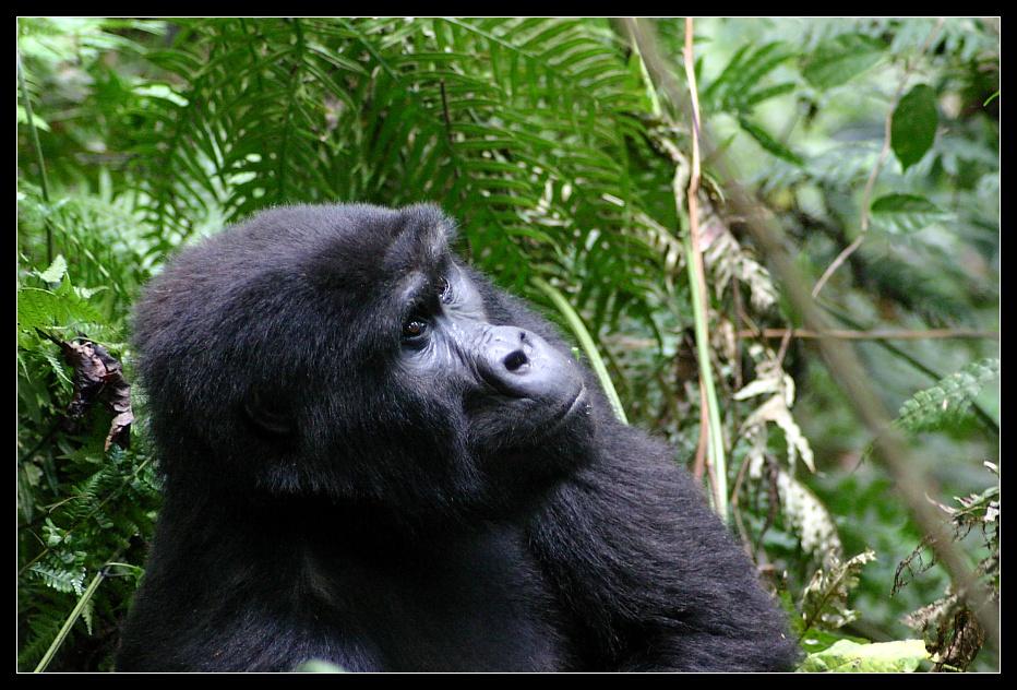Berggorilla im Bwindi Impenetrable NP, Uganda