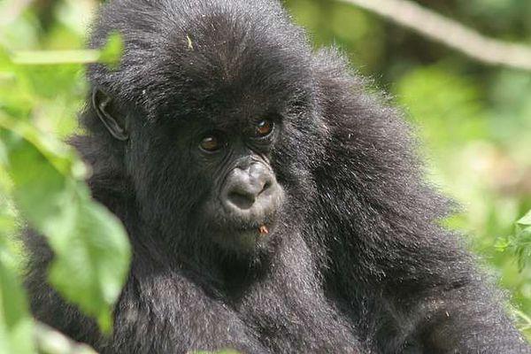 Berggorilla Ruanda