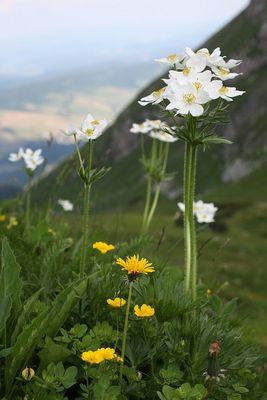 Berghähnlein (Anemone narcissiflora)...