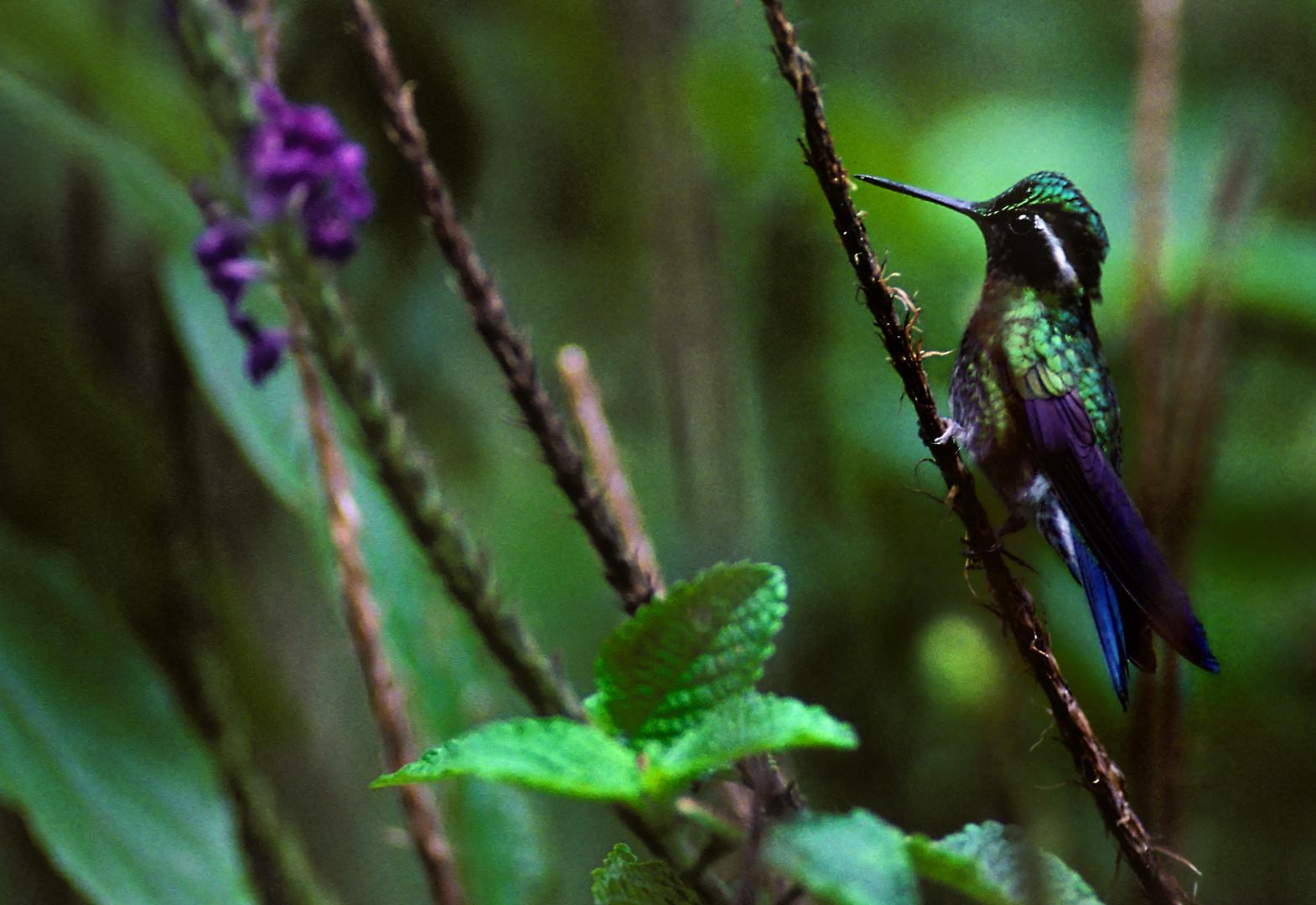 Bergjuwelkolibri, Nebelwald Reservat Monteverde