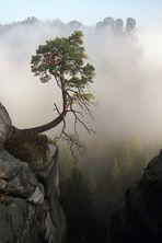Bergkiefer im Morgennebel (2)