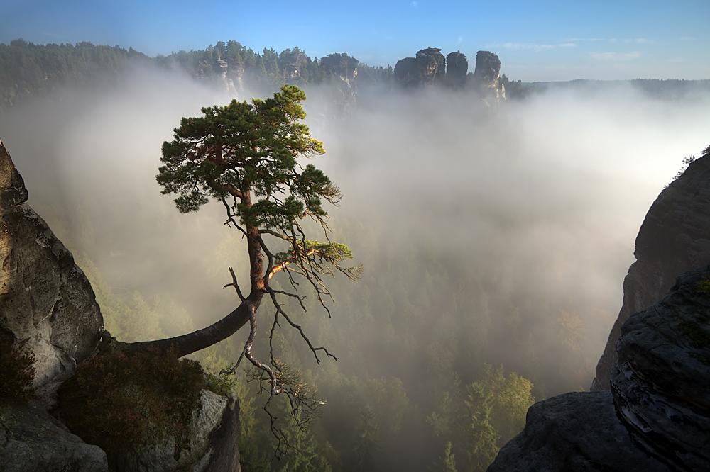 Bergkiefer im Morgennebel