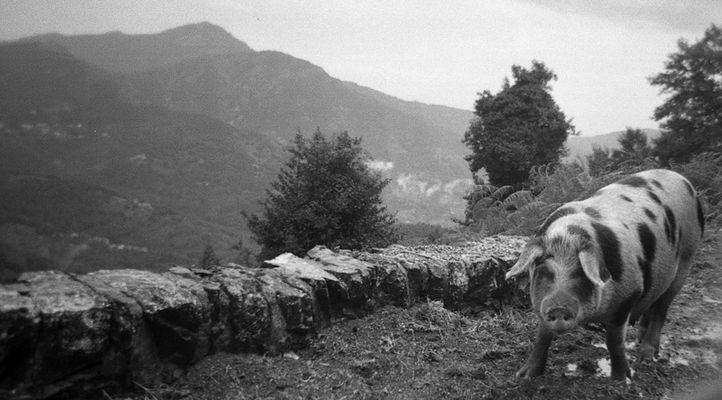 Bergschwein