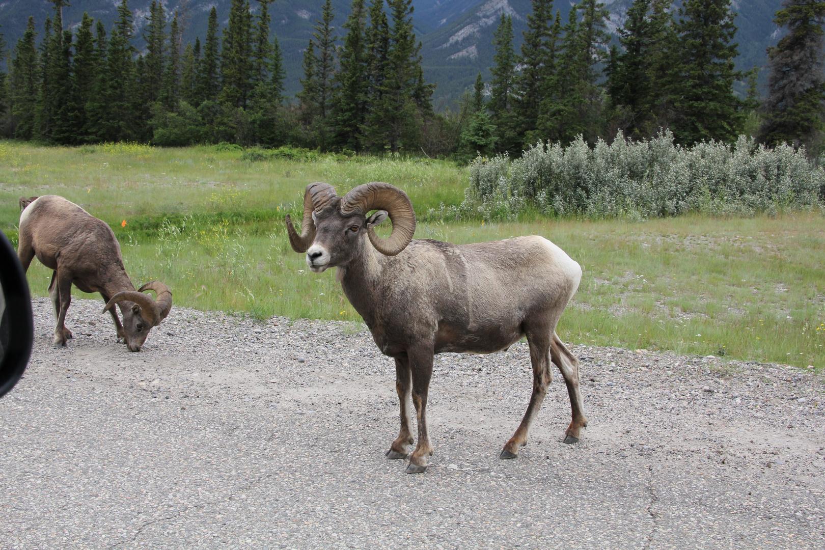 Bergziege im Jasper-Nationalpark