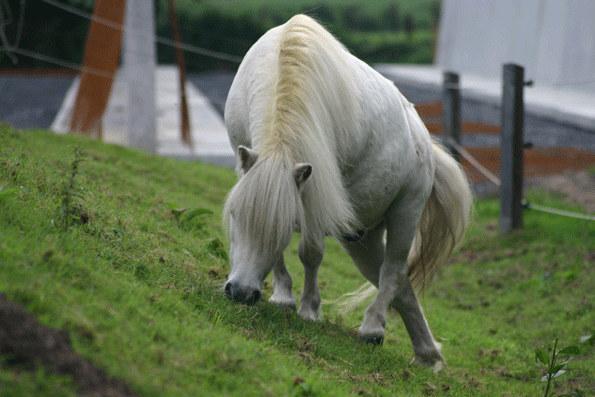 Bergziege oder Shettland Pony?