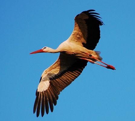 Berkach Storch