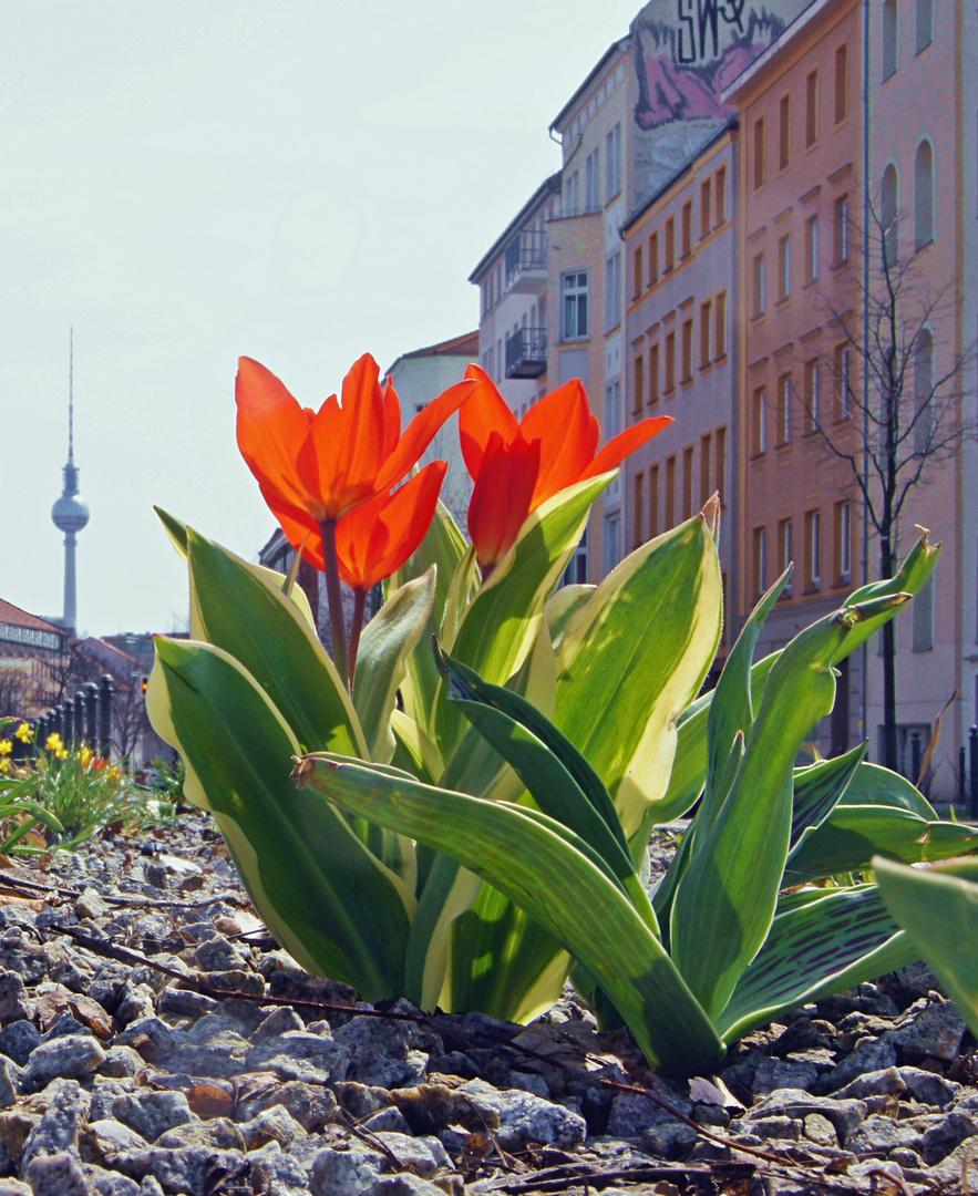 ... Berlin blüht ...