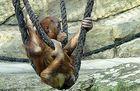 Berlin Zoologischer Garten:Orang Utan