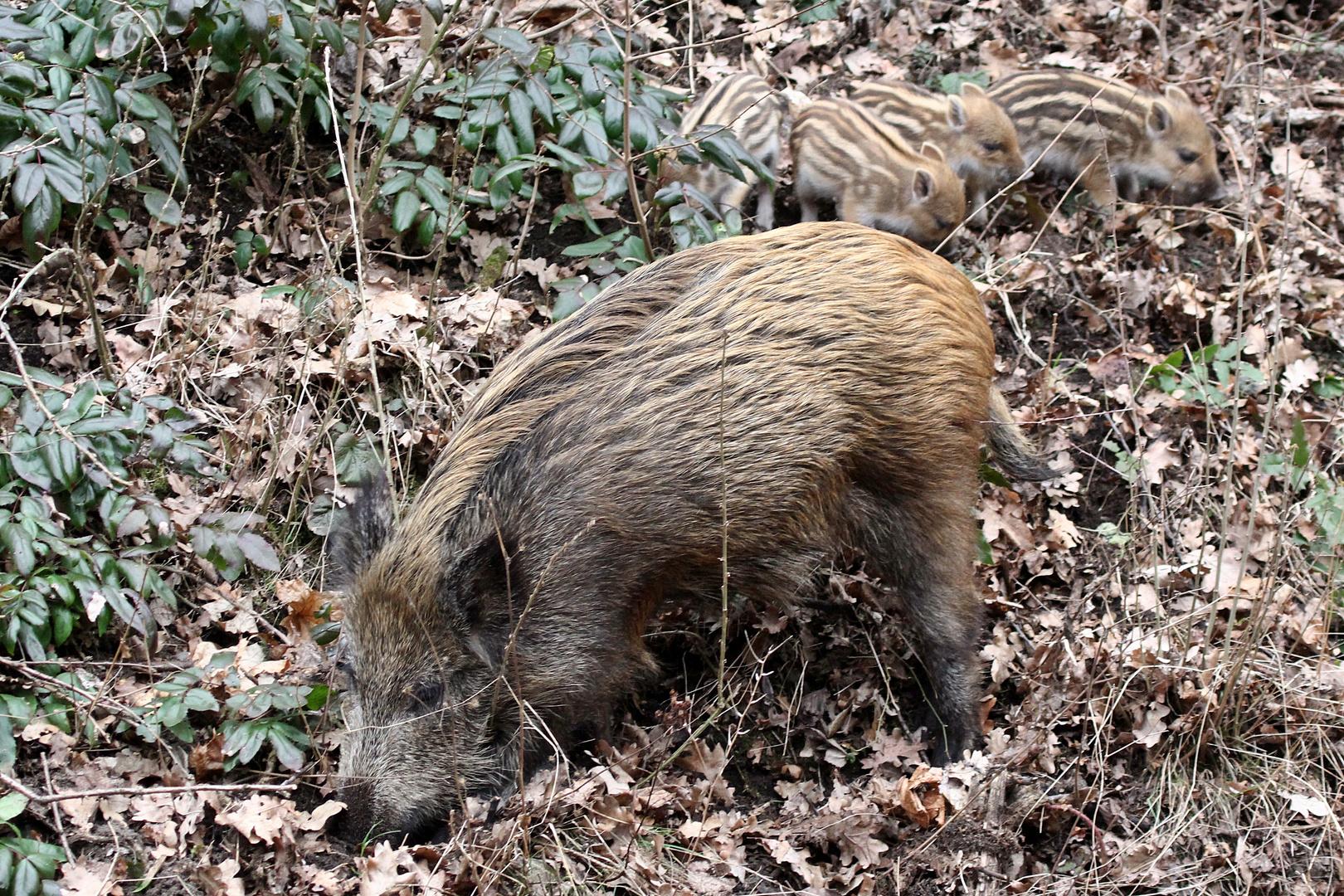 Berliner Stadtschweine