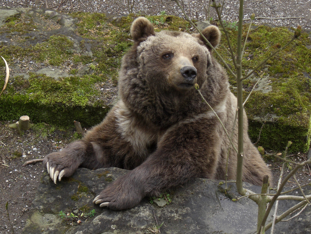 Berner Bär im Bärengraben