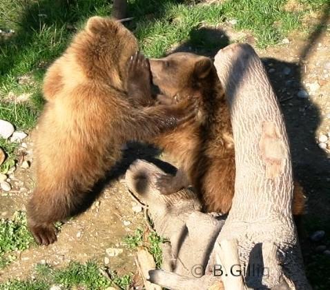 Berner Bären Urs und Ursina