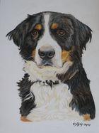 Berner Sennenhund - Buntstiftzeichnung