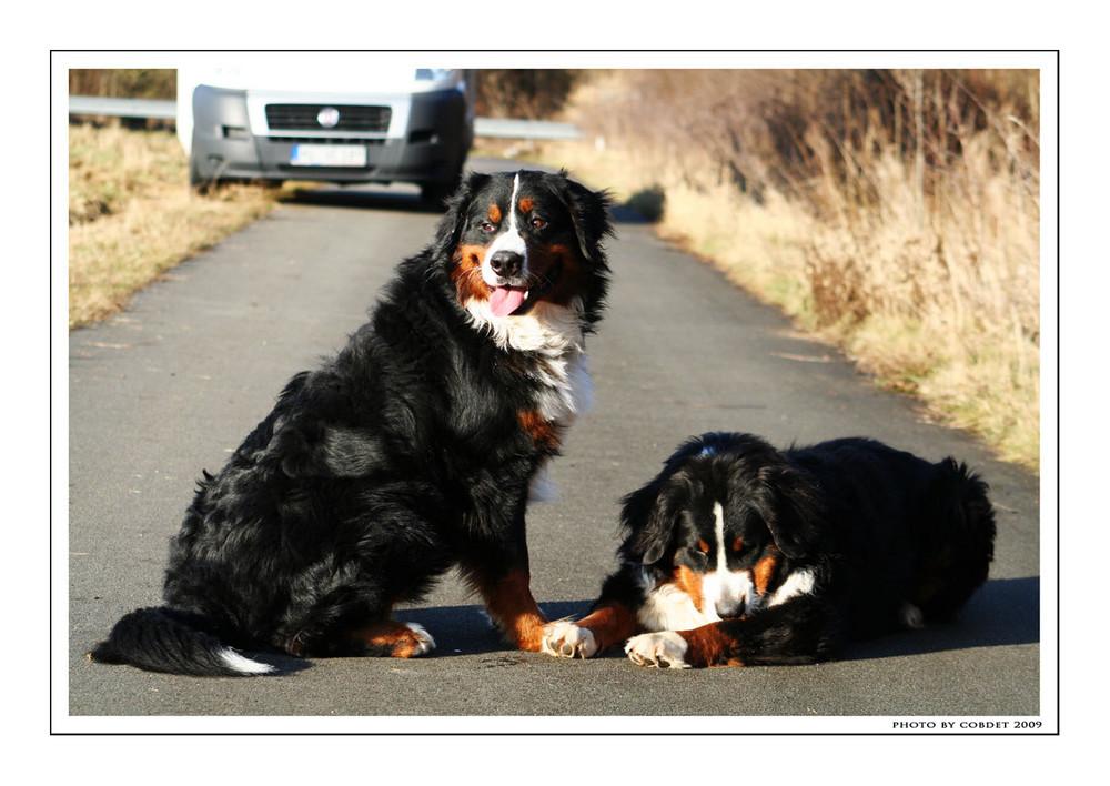 Berner Sennenhunde III