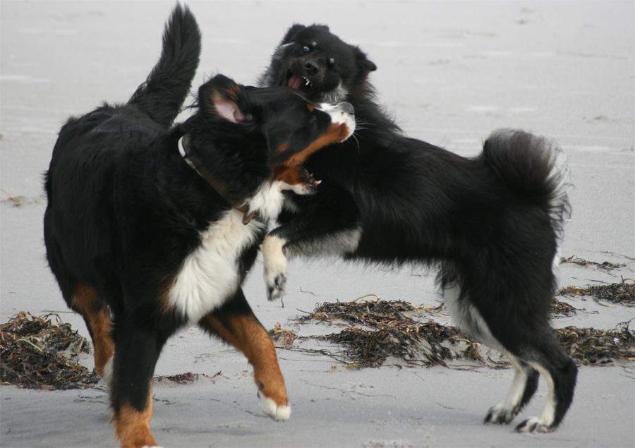 Bernersennenhund & Eurasier