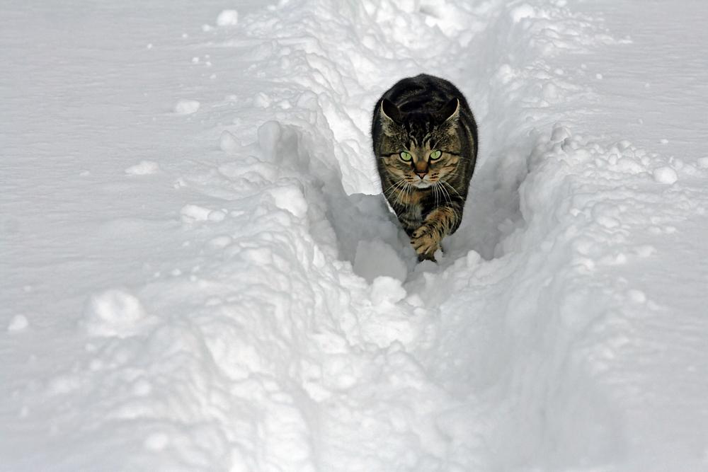 Bertelchen rennt wieder durch den Schnee - direkt auf mich zu....