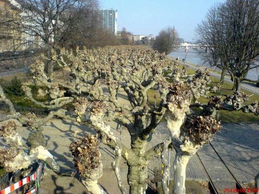 Beschnittene Bäume