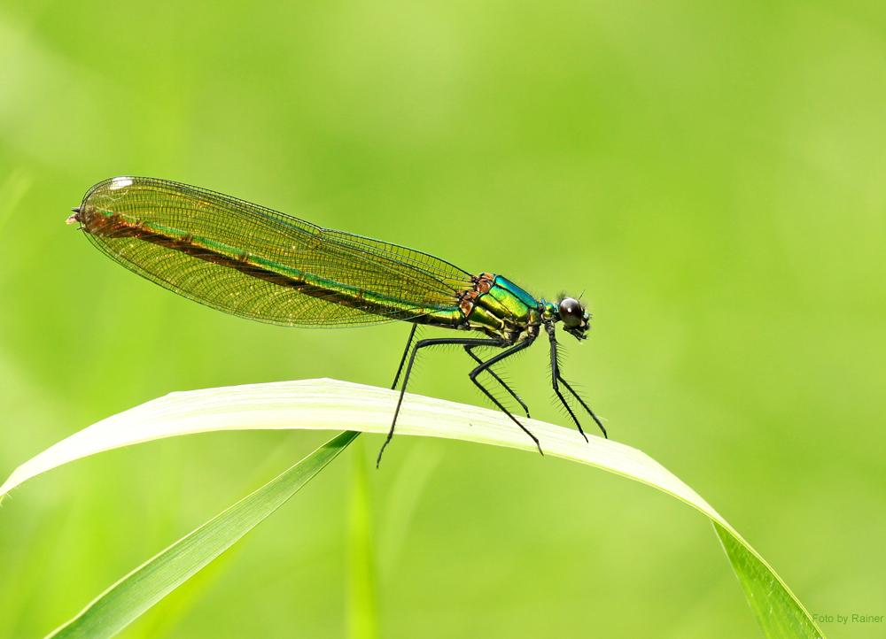 Besondere Schönheiten im Libellenreich