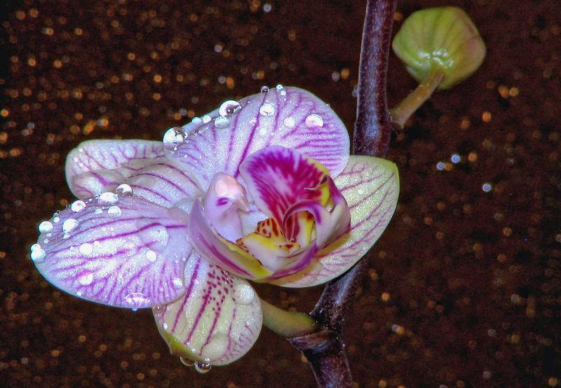 Besprühte Orchidee ( Phalaenopsis )