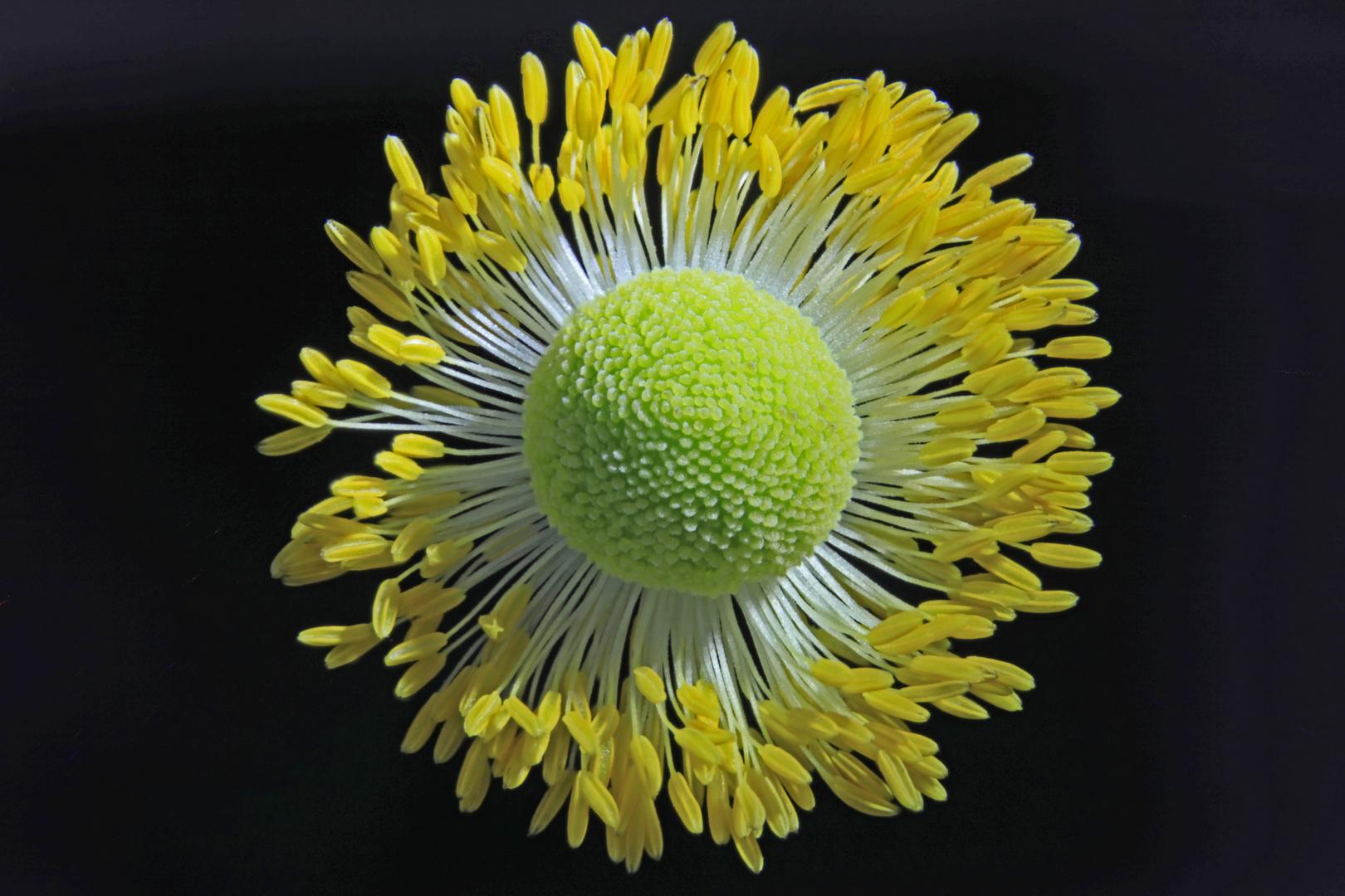 Bestäubungskranz der Japan-Anemone