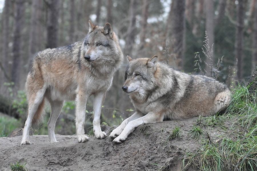 Beste Wolfsfreunde !!!