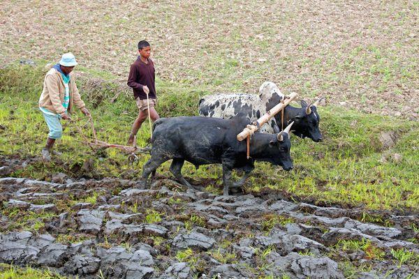 Bestellung der Reisfelder auf Madagaskar mit Zebus
