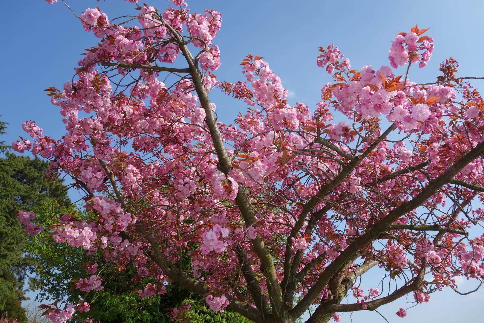 Besuch am Bodensee Baum in voller Blüte