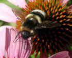 Besuch auf einer Echinacea-Blüte  (2)