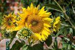 Besuch auf einer Sonnenblume ...