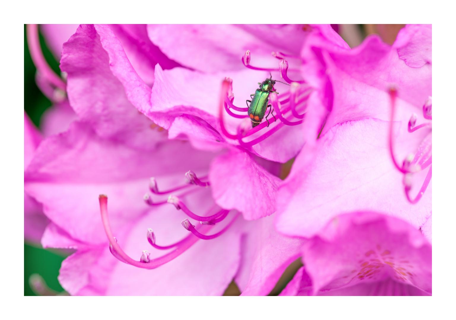 Besuch auf Rhododendron
