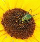 Besuch einer Sonnenblume