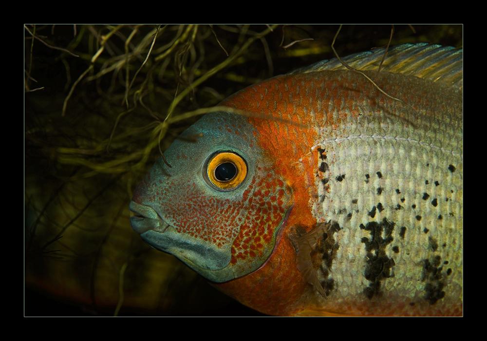 Besuch in einem Aquariengeschäft ((Cichlasoma synspillum) nach Franz Schmied)