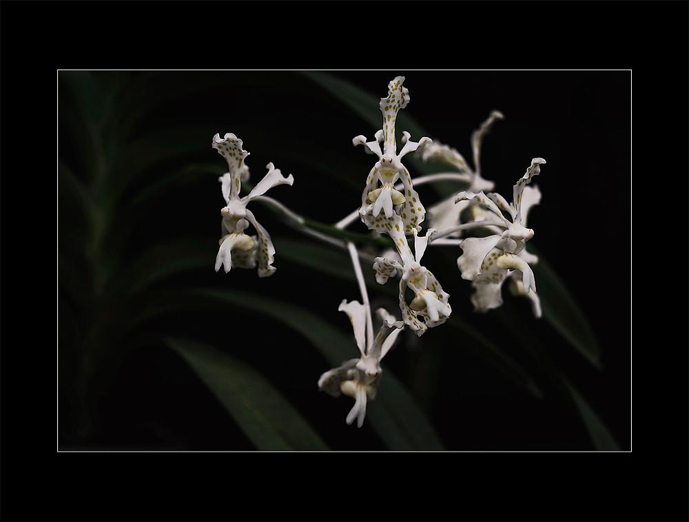 Besuch in einer Orchideengärtnerei (84a)