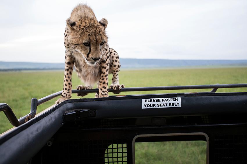 Besuch von Geparden
