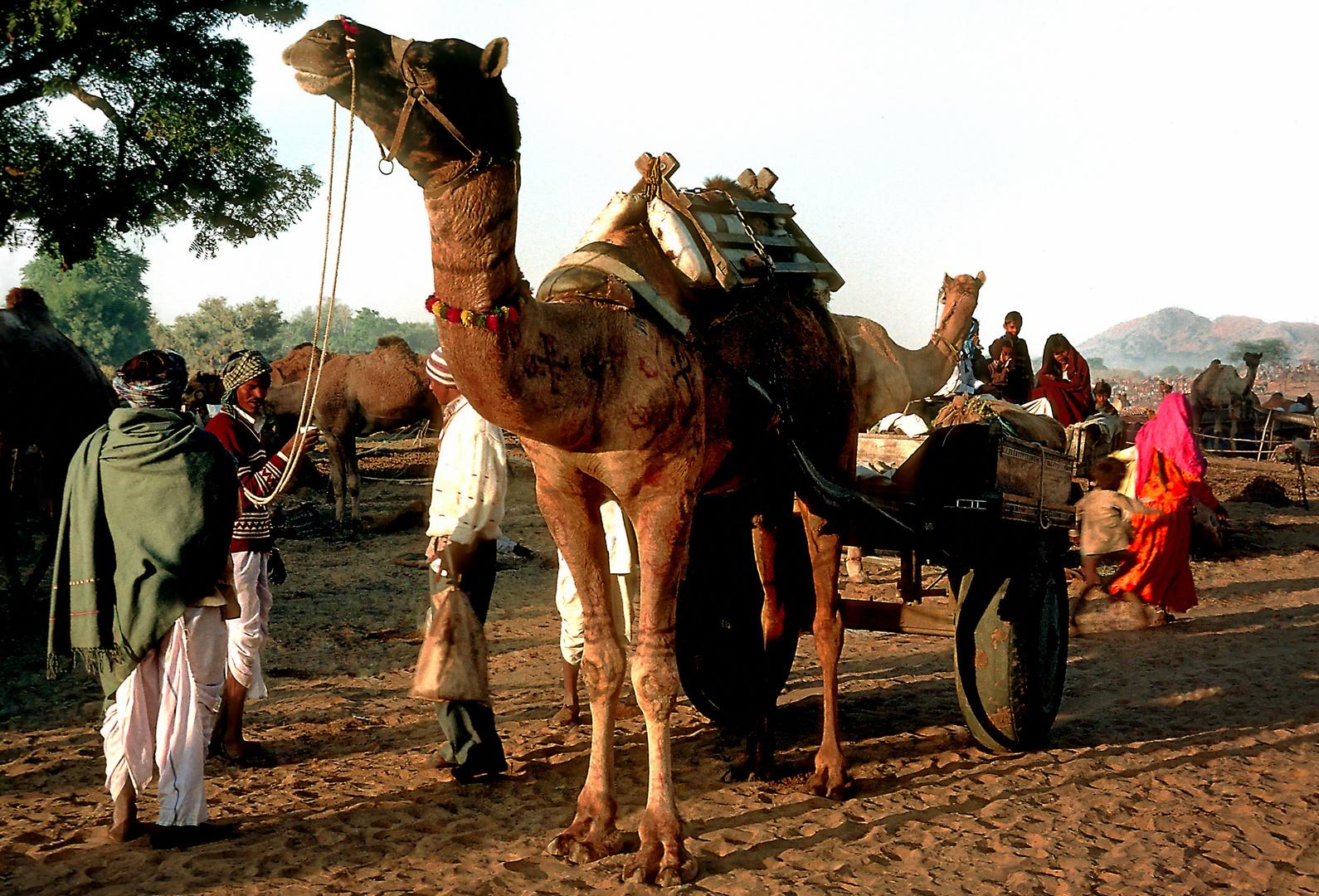 Besucher aus der Wüste Thar