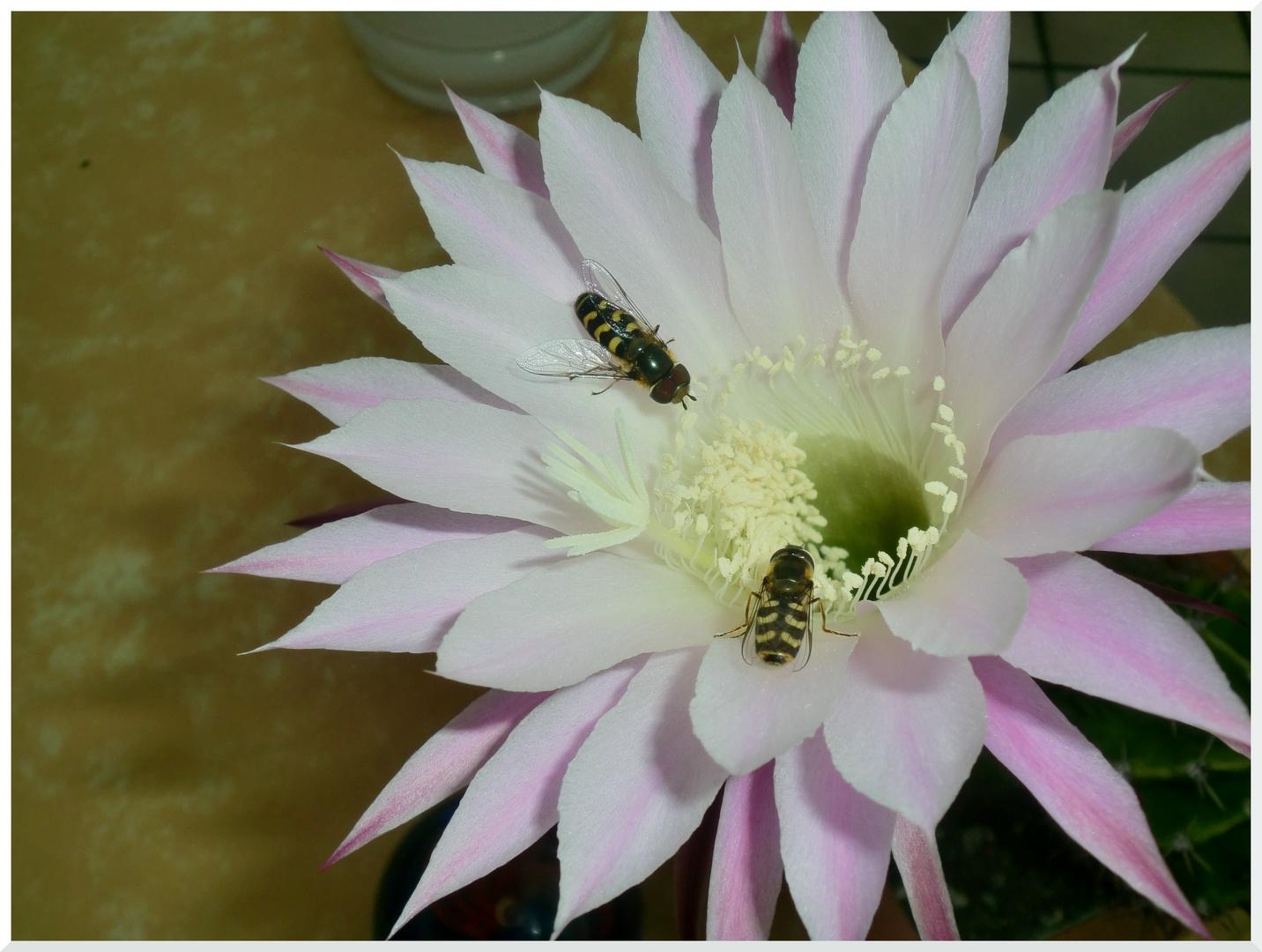 Besucher einer Echinopsisblüte
