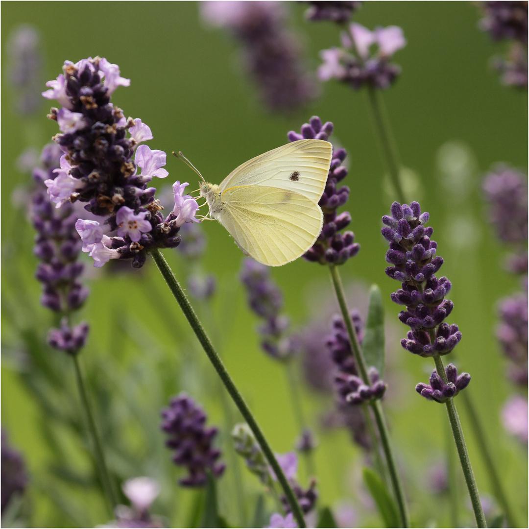 Besucher im Lavendel