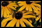 Besucher - Sonnenauge mit Insekt