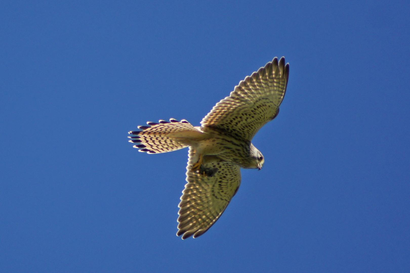 Beute in Ordnung, Falke sucht sich ein ruhiges Plätzchen