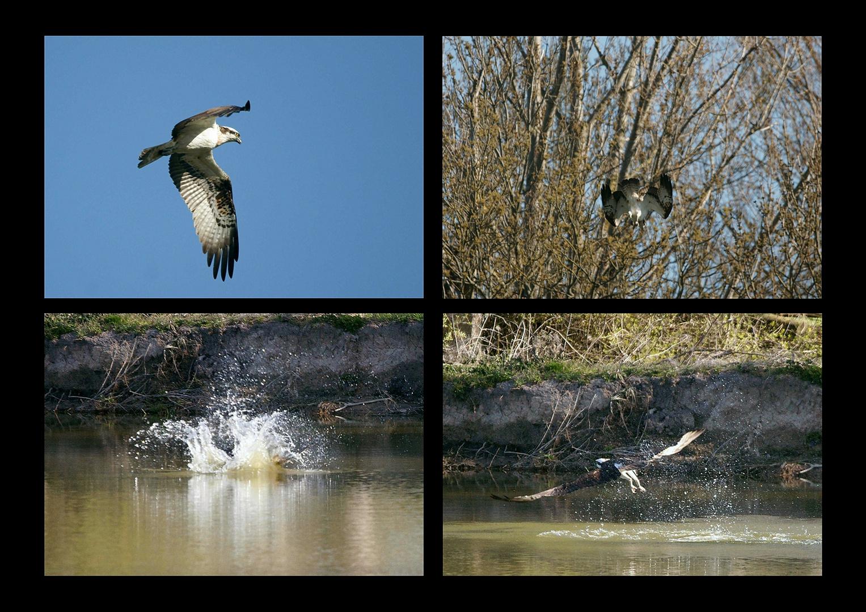 Beuteflug des Fischadlers