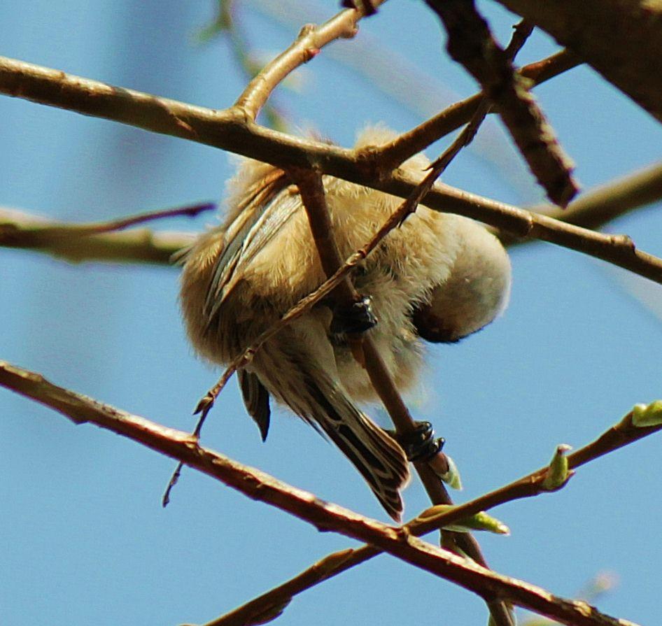 Beutelmeise beim Frühjahrsputz