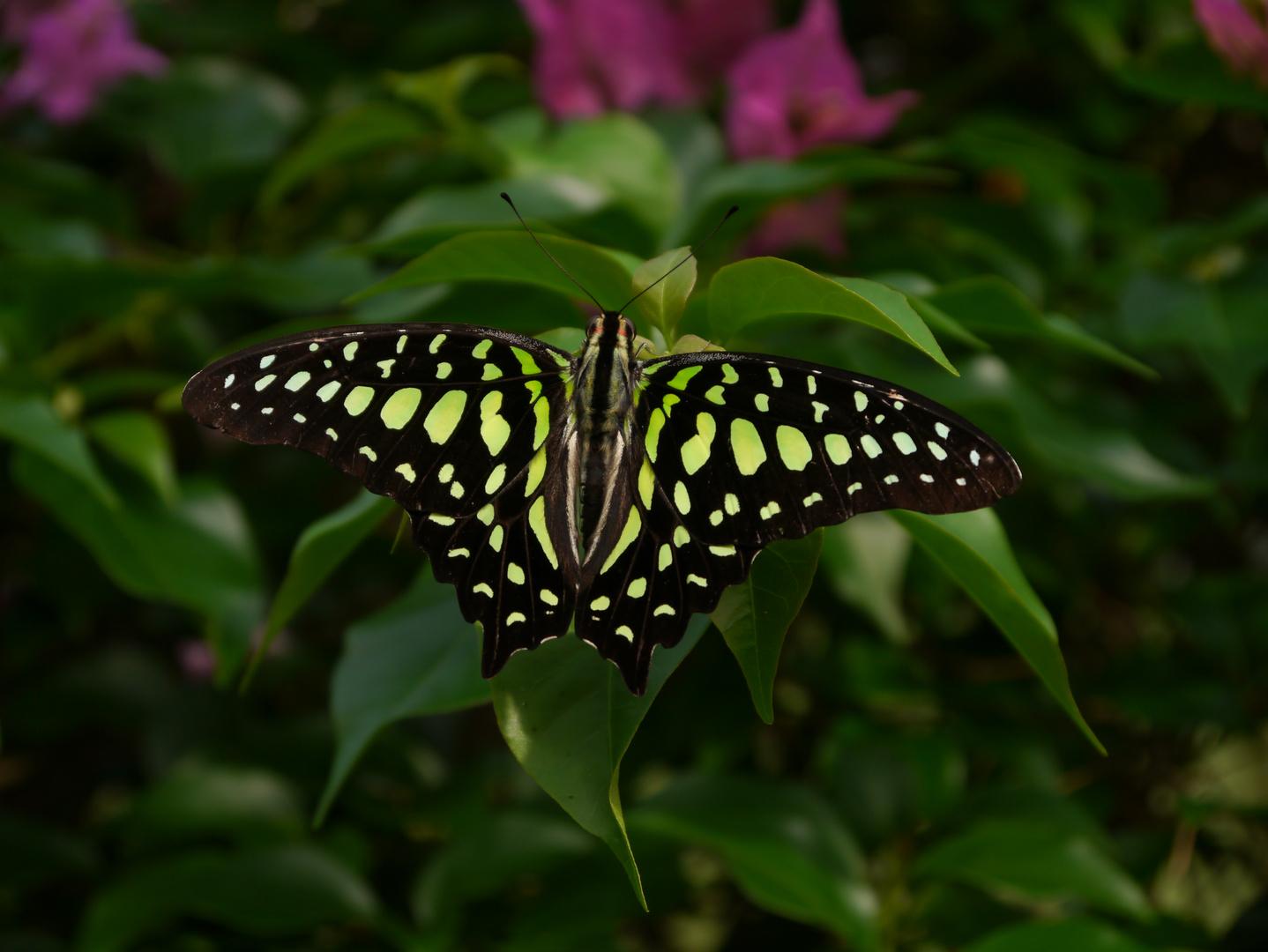 Bewundere meine Flügel