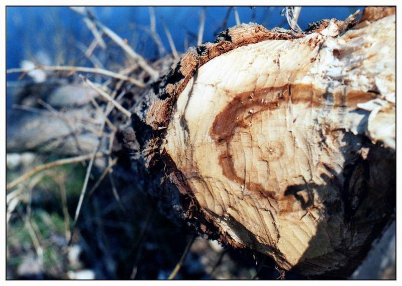 Biber-Baum