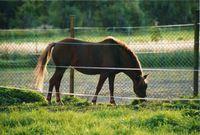 Bibi minn hestur