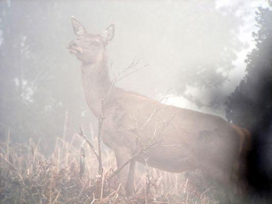 Biche dans la brume